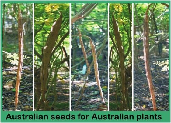 Australian Moringa Oleifera MORINGA FARM AUSTRALIA.com.au